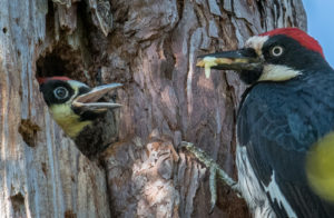 Male Acorn woodpecker feeds its offspring by Paul Brewer