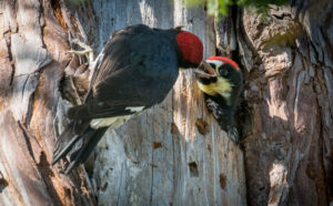 Open wide - an Acorn woodpecker chick being fed by Paul Brewer