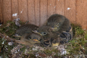 Pacific-slope Flycatcher chicks waiting to be fed by Craig Tooley
