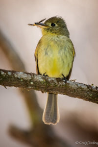 Pacific-slope Flycatcher with a bug by Craig Tooley