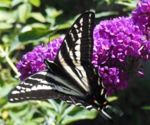 Pale Swallowtail by Andi Kahn (1024x852)