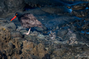 Then there were two, Black Oystercatcher chicks by Craig Tooley