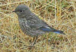 Western Bluebird chick by Steve Wilcox