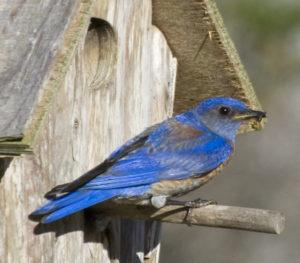 Western Bluebird dad with a bug by Steve Wilcox