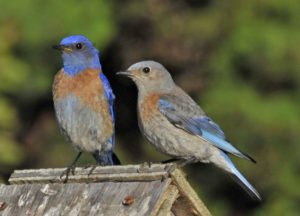 Western Bluebird male and female by Steve Wilcox