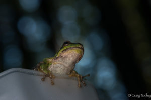 A Sierran Tree frog by Craig Tooley