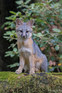 A young Gray fox looks at the camera by Craig Tooley