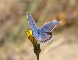 Acmon Blue butterfly, Plebejus acmon, by Mark Ricci