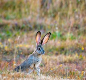 Black-tailed Jackrabbit by Marie Matheson
