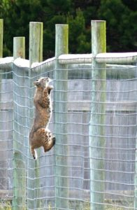 Bobcat climbing the Giraffe fence by Judy Mello