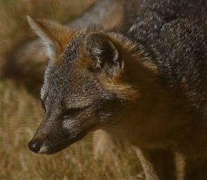 Intent Gray Fox by Hal Fogel