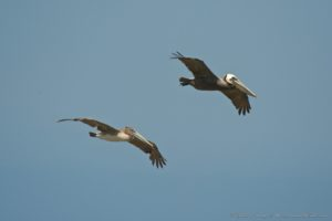 Juvenile and an adult Brown JUL Pelican by Craig Tooley