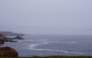Necklace of Brown pelicans in the fog by Grace O'Malley