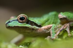 Sierran Treefrog by Craig Tooley