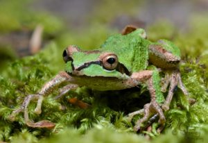 Sierren Treefrog showing foot pads by Craig Tooley