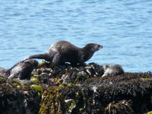 Three River Otter babies playing on the rocks by Beverly Naso