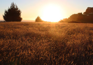 Amber waves of grain - Gualala Point Regional Park by Wendy Bailey