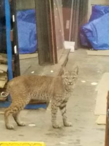 bobcat-in-my-office-by-marlana-woods