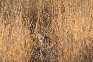 camouflaged-bobcat-2-by-peter-cracknell