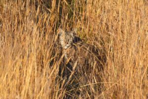 camouflaged-bobcat-by-peter-cracknell