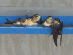 feed-me-trio-barn-swallows-by-karen-scott