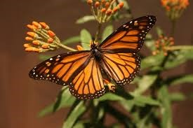 female-monarch-lacks-the-two-scent-spots-photo-courtesty-of-barbara-rice