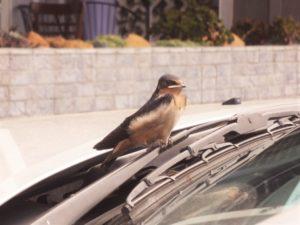 first-flight-a-barn-swallow-fledges-by-karen-scott