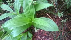 Fringed Corn Lily leaves by Frank Drouillard (Large)