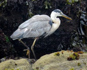 great-blue-heron-searching-for-a-meal-by-robert-scarola