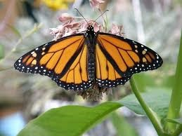 male-monarch-has-two-scent-spots-on-lower-wings-photo-courtesty-of-barbara-rice