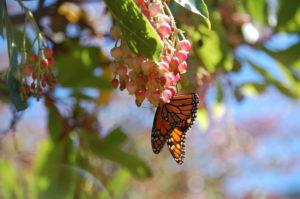 monarch-butterfly-by-richard-oba