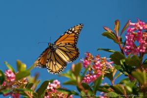 monarch-butterfly-with-pink-flowers-oct-by-craig-tooley