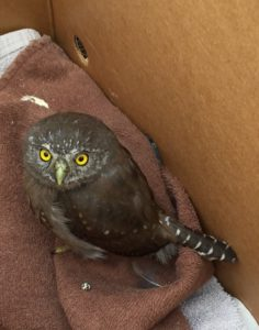 Northern Pygmy-Owl by Diane Hichwa