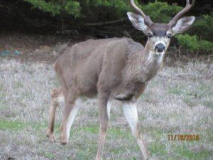 tripod-the-buck-missing-his-right-hoof-by-sandy-hughesjpg