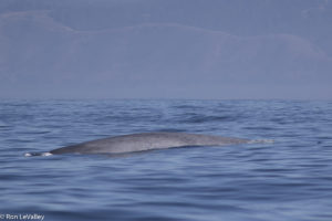 blue-whale-came-close-to-our-boat-by-ron-levalley