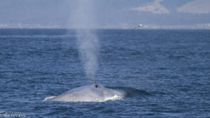blue-whale-spout-by-ron-levalley