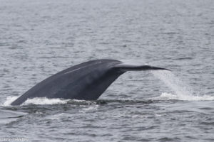 blue-whales-tale-by-ron-levalley