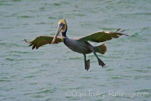 brown-pelican-pelecanus-occidentalis-coming-in-for-a-landing-nov-by-craig-tooley