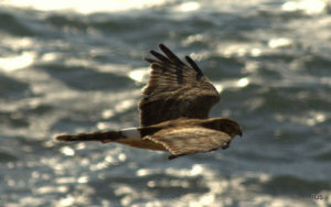 immature-northern-harrier-by-robert-scarola