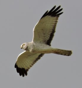 male-northern-harrier-by-eric-zetterholm