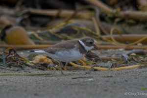 semipalmated-plover-taking-a-walk-on-the-beach-by-craig-tooley