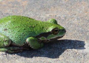 sierran-treefrog-1-by-jan-mccormick