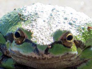 sierran-treefrog-by-jan-mccormick