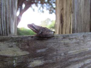 sierran-treefrog-has-turned-brown-by-harm-wilkinson