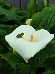 sierran-treefrog-on-a-calla-lily-by-richard-kuehn