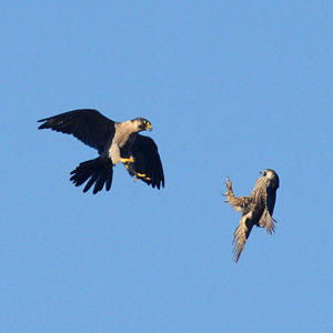 adult-peregrine-falcon-on-the-left-reprimanding-a-juvenile-by-ken-bailey