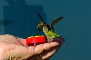 an-annas-hummingbird-lands-on-janice-batchelders-hand-by-john-batchelder