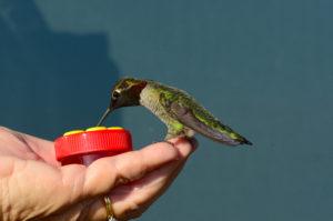 janice-batchelder-with-a-handheld-hummingbird-feeder-by-john-batchelder
