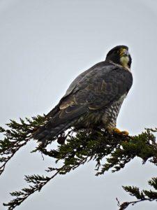 peregrine-falcon-1-by-eric-zetterholm