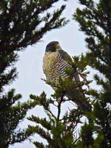 peregrine-falcon-2-by-eric-zetterholm